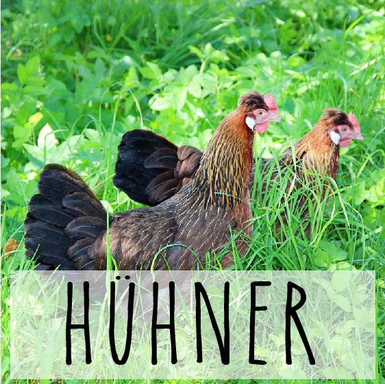 Biohof_Hühner