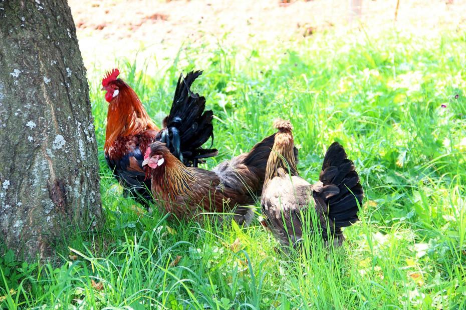Altsteirer Hahn und Hennen