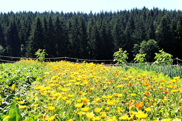 Ringelblumen Feld