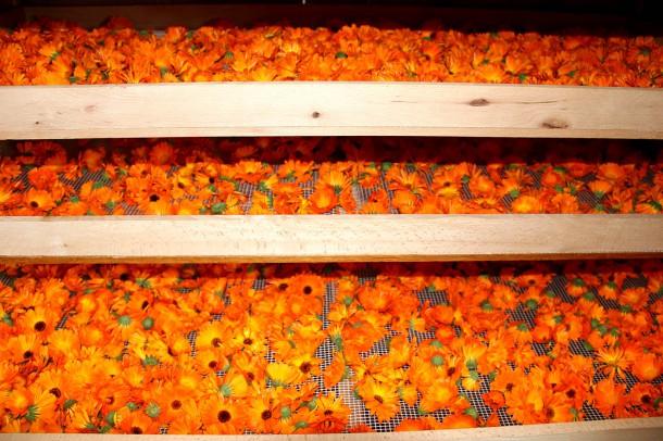 Ringelblumen in der Trocknung