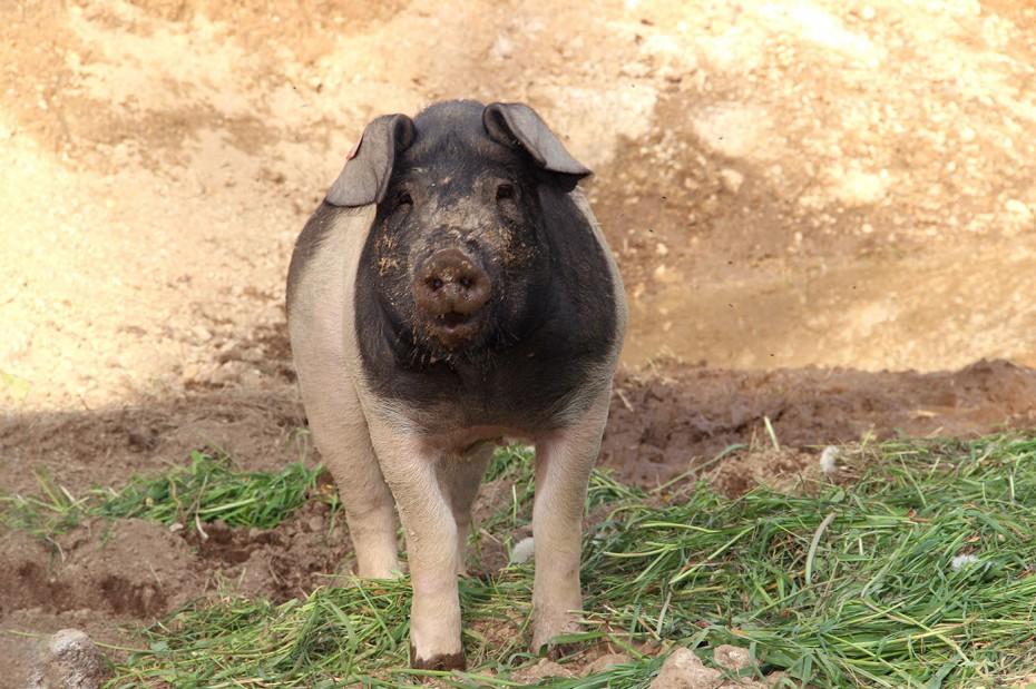 Bio Schweine Thauerböck 1