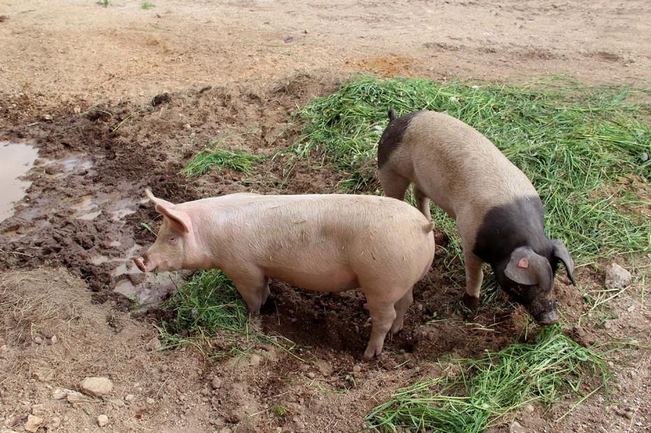 Bio Schweine Thauerböck 2