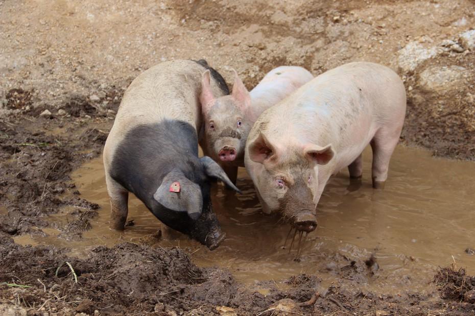 Bio Schweine Thauerböck 4