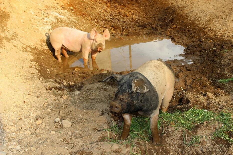 Bio Schweine Thauerböck 5