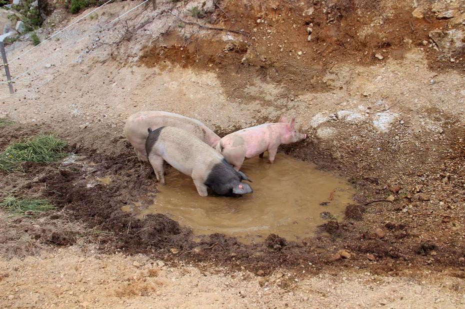 Bio Schweine Thauerböck 6