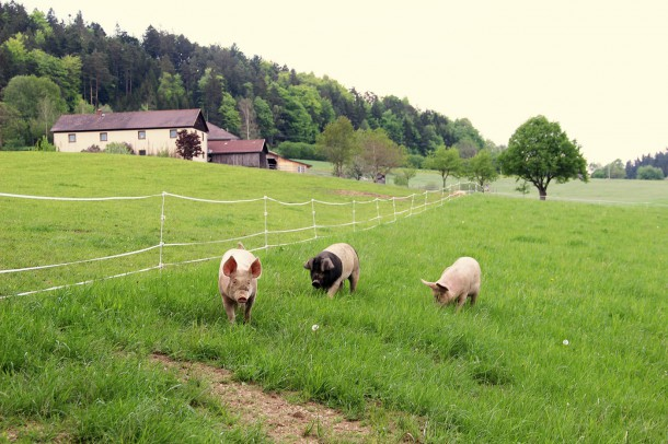 Bio Schweine Thauerböck 7