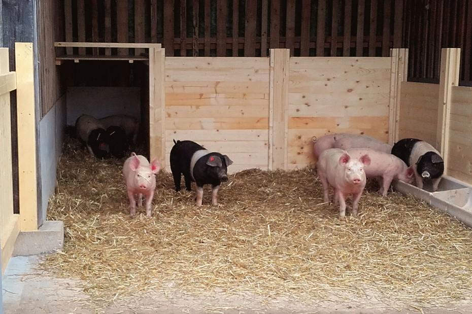 Bio Schweine Thauerböck 8