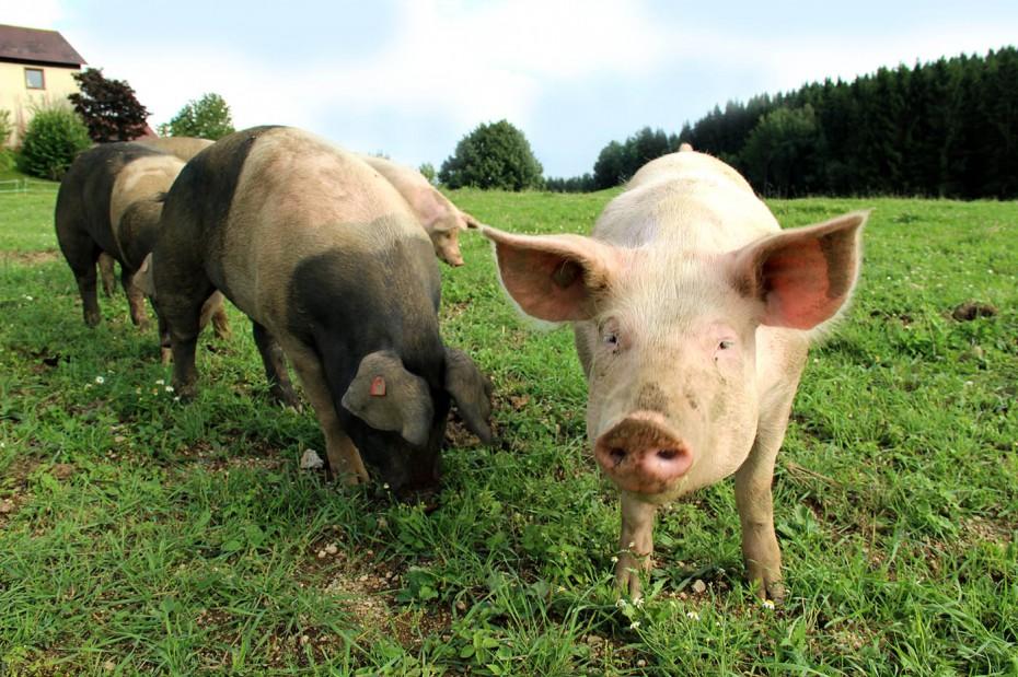 Bio Schweine auf der Weide kl