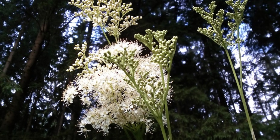 Mädesüß Blüten