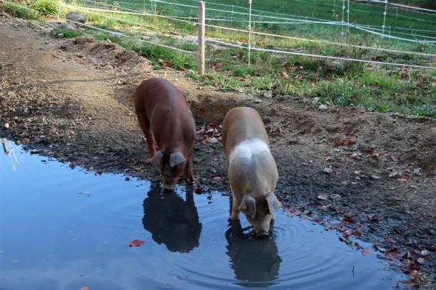 IMG_9224 beab kl Whisky Schweine