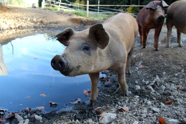 IMG_9227 beab kl Whisky Schweine