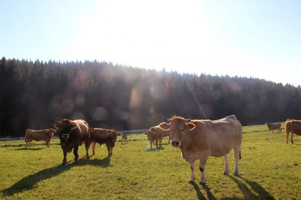 Murbodner Rinder Biohof Thauerböck Weide Auslauf Bio