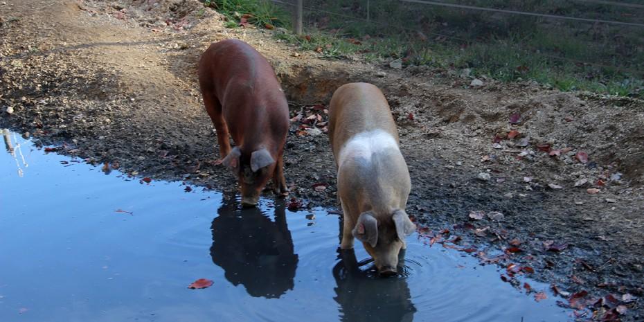 Bio Kaltenberger Whiskyschwein - das Bio Schwein vom Biohof