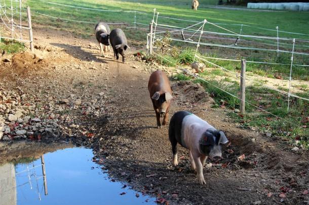 IMG_9209 beab kl Whisky Schweine